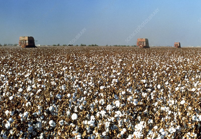Field of cotton, Gossypium sp., being harvested