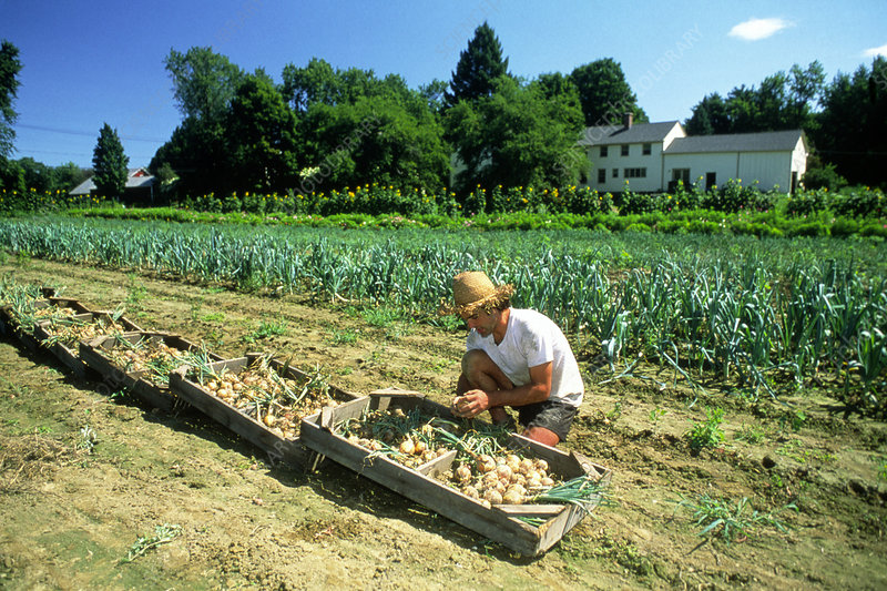 Organic farmer stacking trays of harvested onions