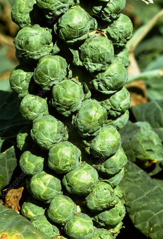 Brussels sprout plant ready for harvesting
