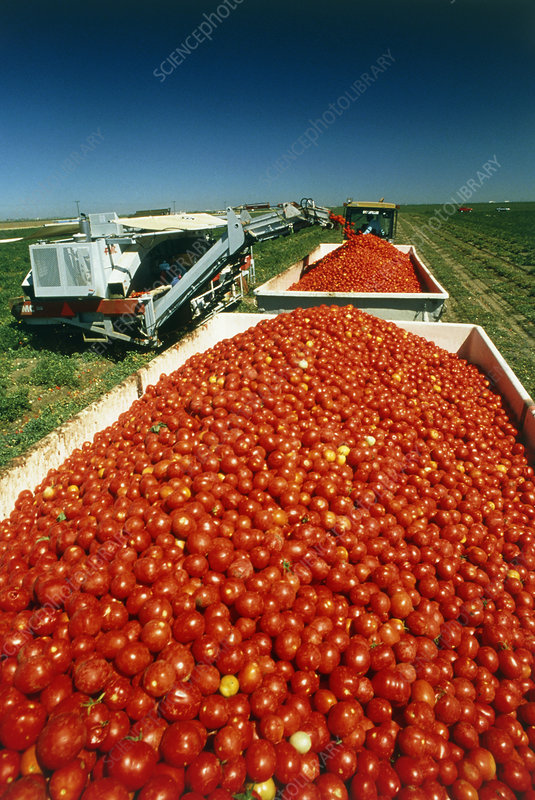 Mechanised harvesting of tomatoes