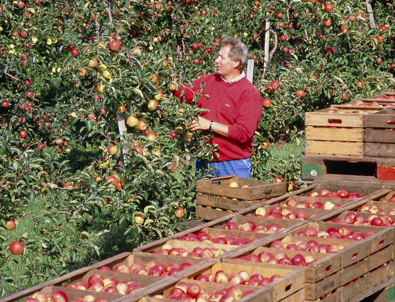 Man harvesting apples by hand.