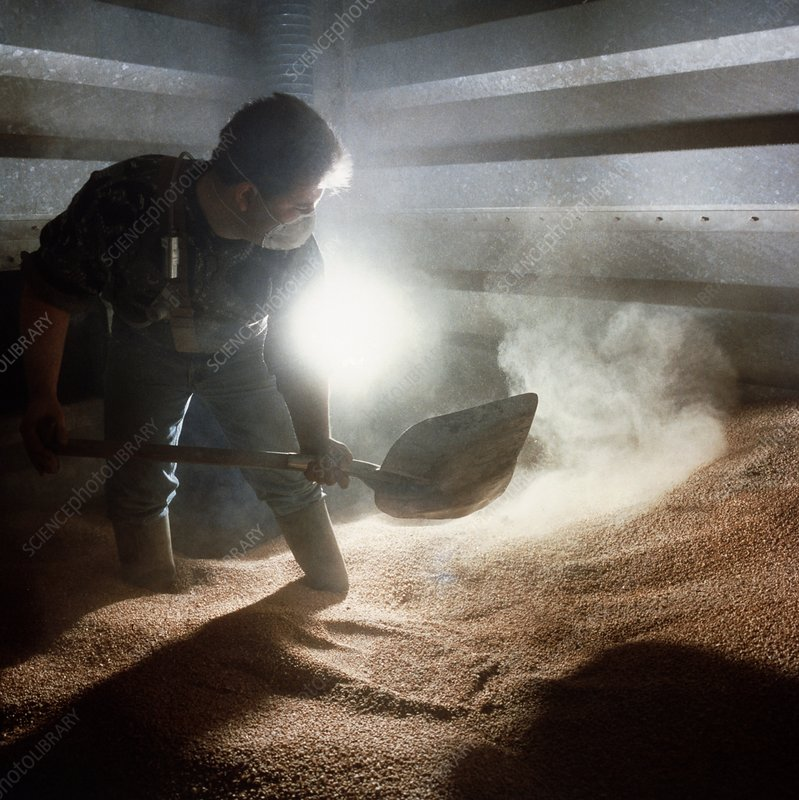 Agricultural worker shovels grain in a silo