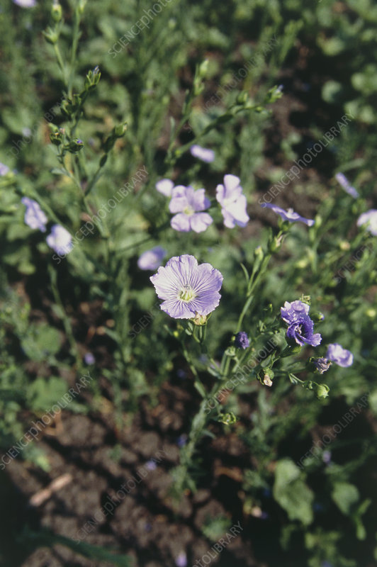 View of flax, Linum usitatissimum, in flower