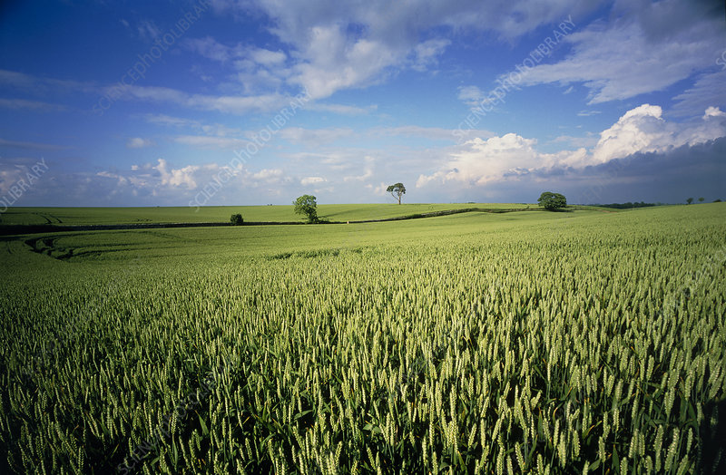 View of a field of wheat, Triticum sp.