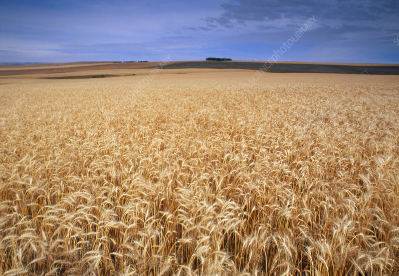 Field of wheat, Triticum sp.