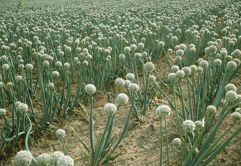 Flowering onion crop grown for its seed