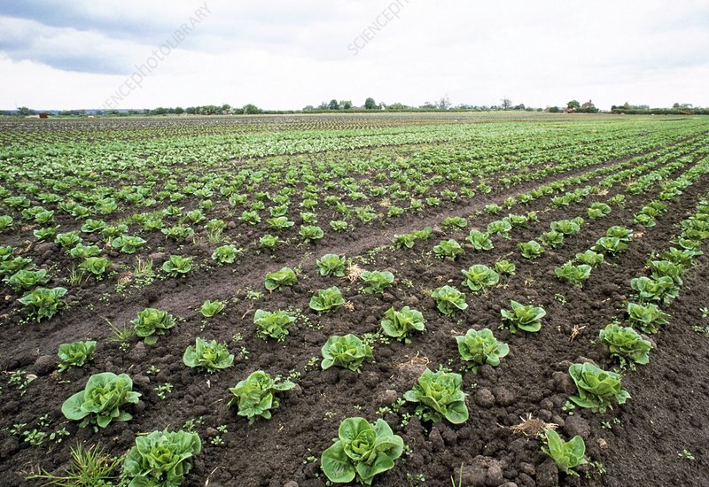 Field of organic lettuces (Lactuca sp.)