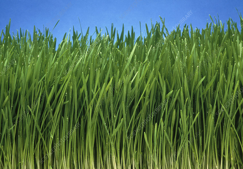 Organically grown wheat grass, Triticum sp.