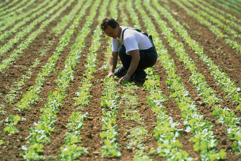 Farmer tending to organic lettuces (Lactuca sp.)