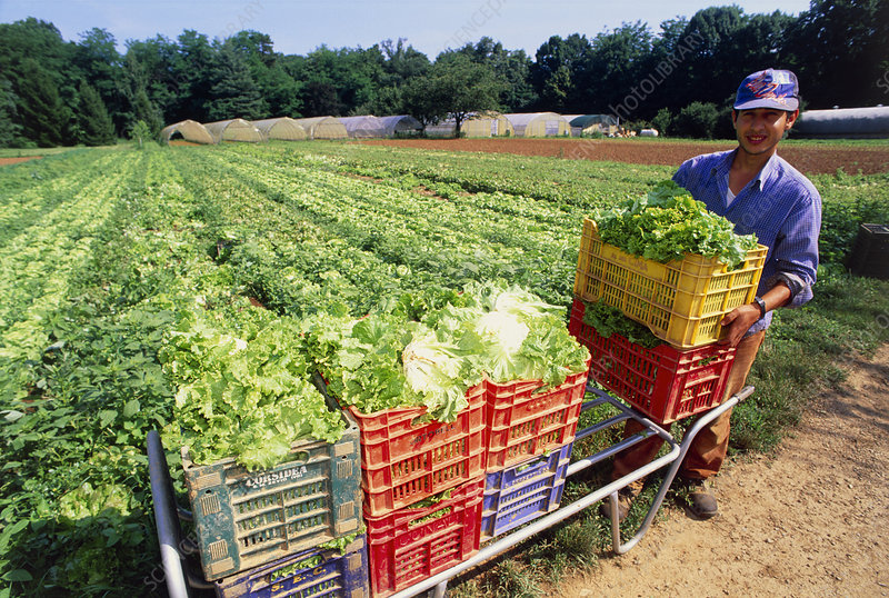 Crates of organic lettuces (Lactuca sp.) by field