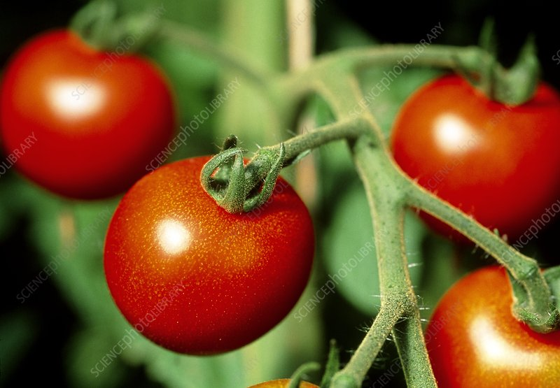 Organic tomatoes (Lycopersicon sp.) on the plant