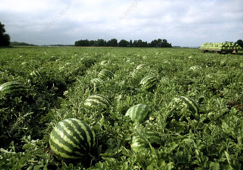 water melon field