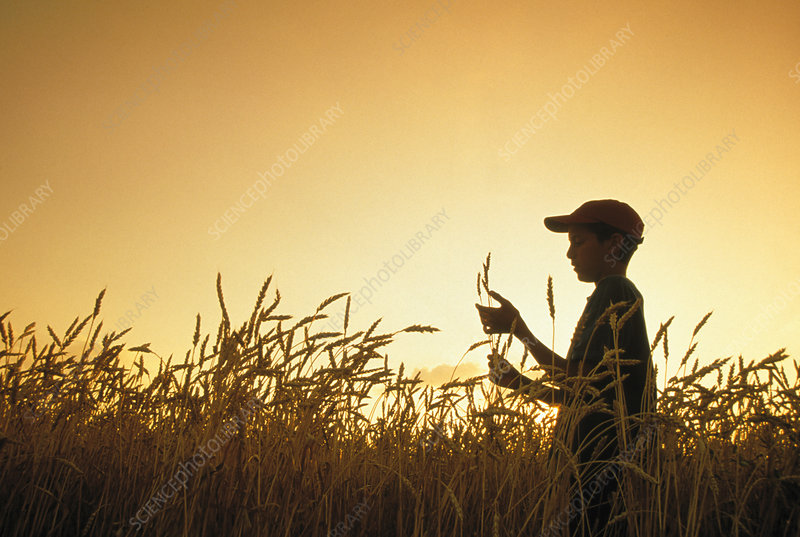 Boy and wheat crop