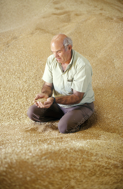 Farmer inspecting grain