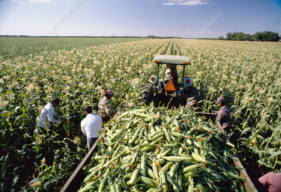 Sweetcorn harvest