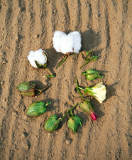 Cotton boll development
