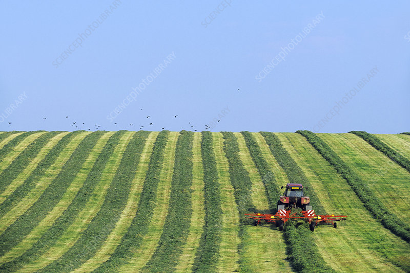 Tractor turning grass for silage