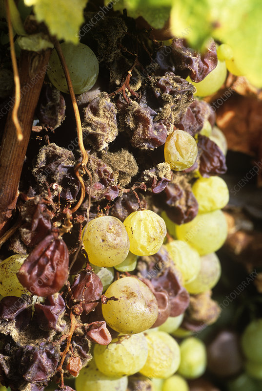 Noble rot on grapes