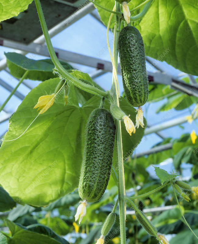 Cucumber cultivation