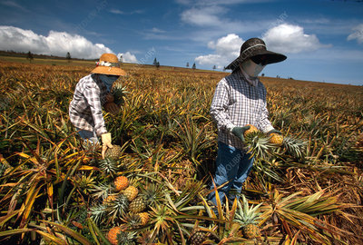 Lanai Filipinos harvest pineapples, Hawaii