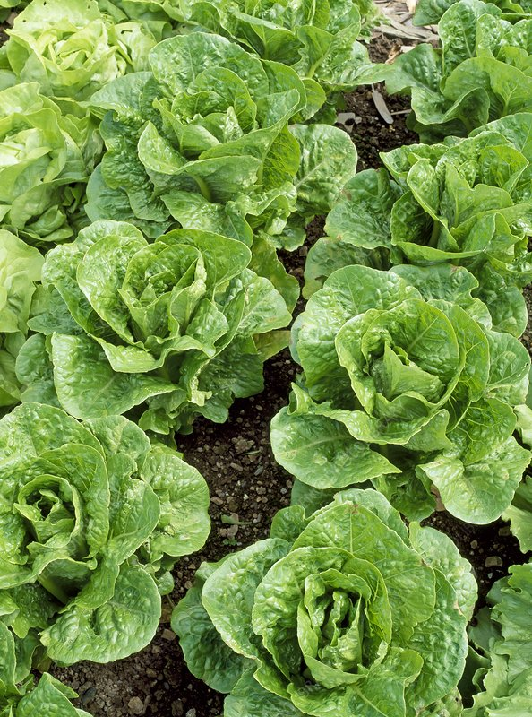 Romany lettuces