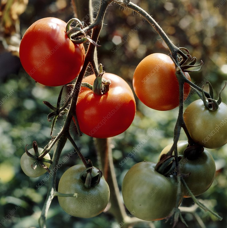 Tomatoes on the vine ripening