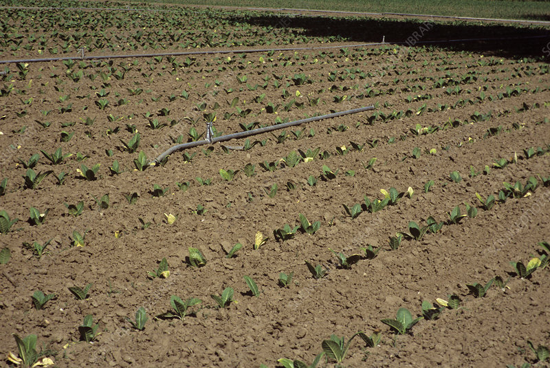 Tobacco crop irrigation