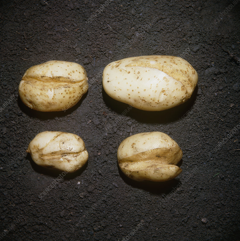 Splitting of potato tubers
