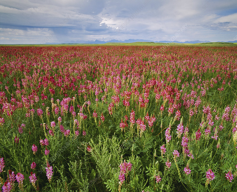 Field of sainfoin (Onobrychis sp.)