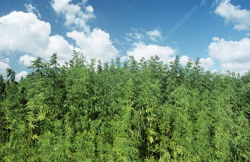 Sams Credit Login >> Hemp plants (Cannabis sativa) - Stock Image E770/1589 - Science Photo Library