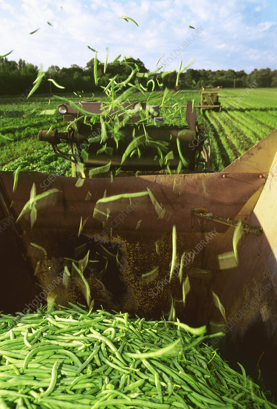 Mechanical harvesting of green snap beans