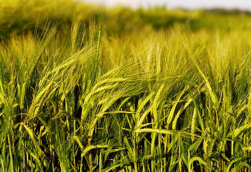 Maturing barley heads hordeum vulgare