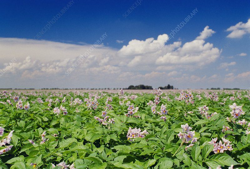 Potato crop flowering