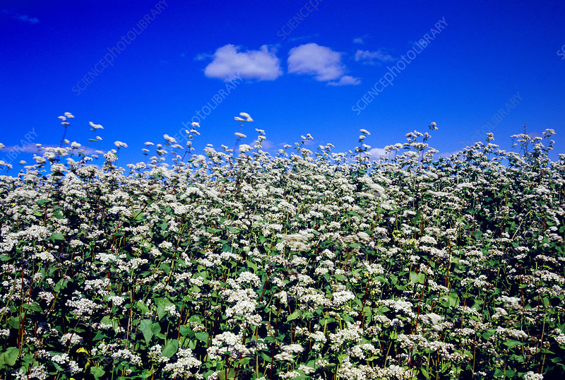 Buckwheat plants (Fagopyrum esculentum)