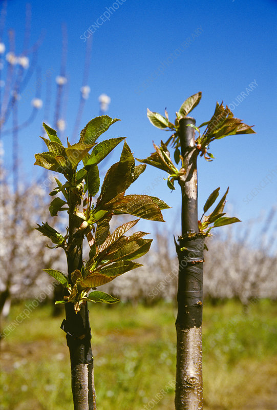 Budding grafted cherry trees (Prunus sp.)