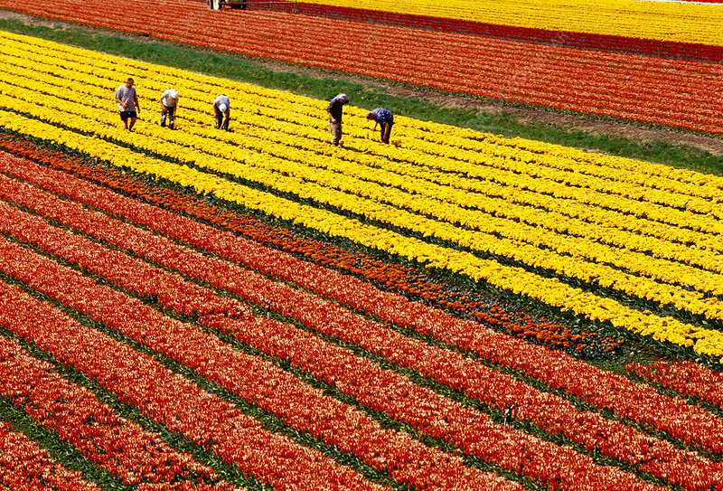 Labourers picking tulips