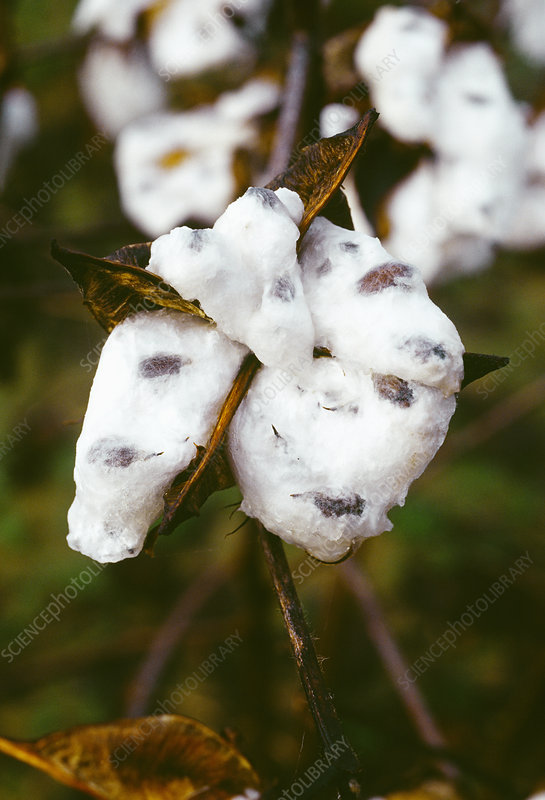 Harvest ready cotton boll (Gossypium sp.)