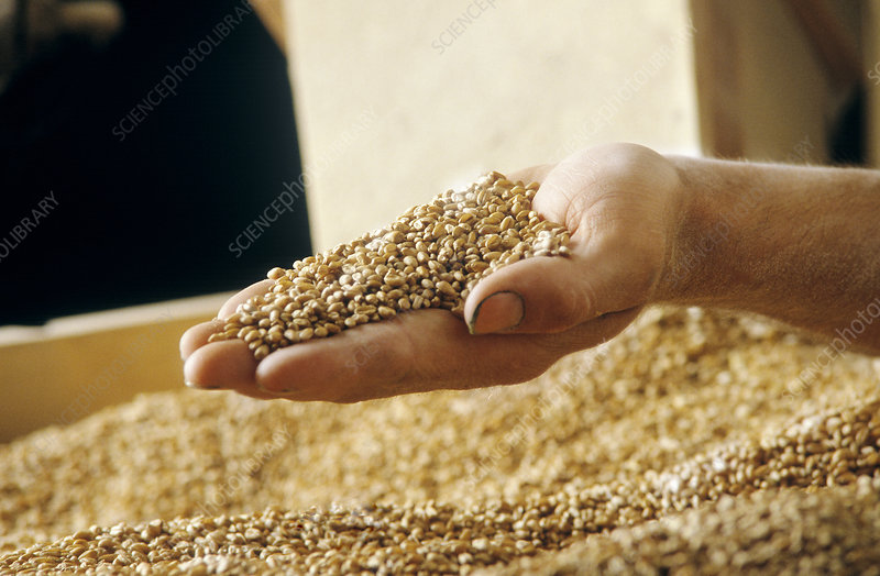 Handful of corn grain
