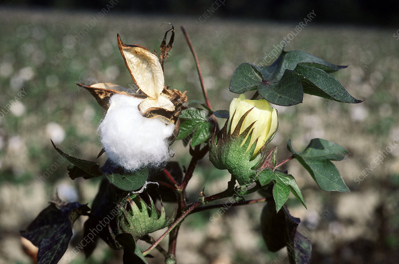 Cotton boll and flower