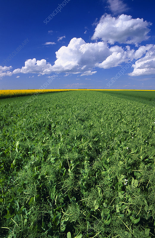Field of pea plants