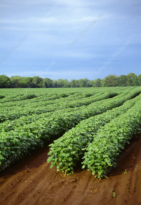 Rows of cotton plants