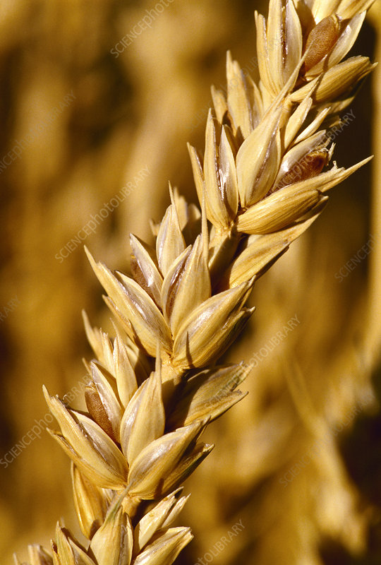 Mature wheat (Triticum sp.)