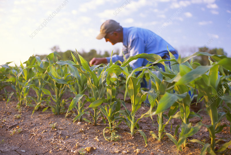 Inspecting maize plants