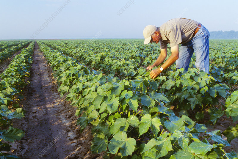 Inspecting cotton plants