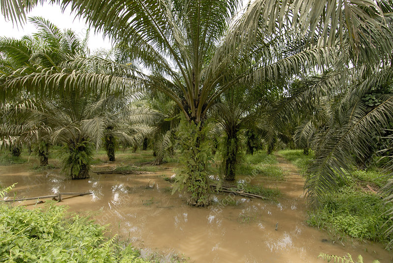 African oil palm plantation