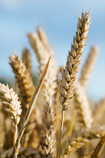 Mature wheat