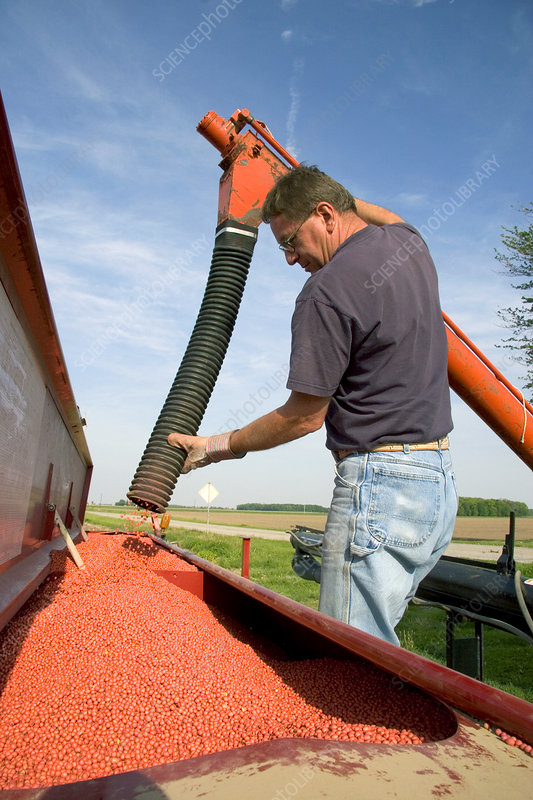 Farmer loading a planter with soy bean seeds