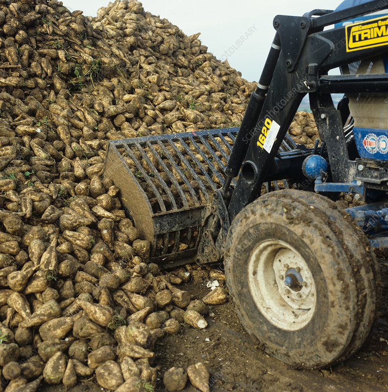 Harvested Sugar Beet Roots