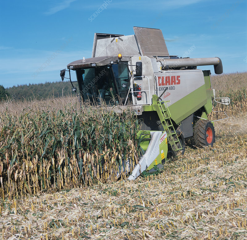 Header Stripping and Combining Corn Crop