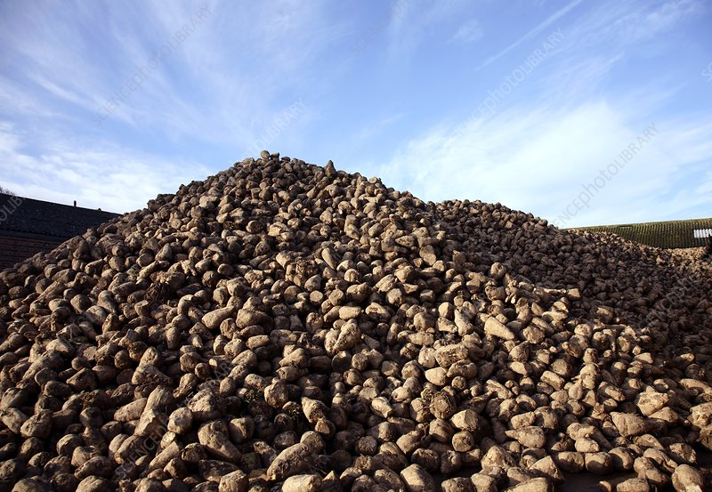 Sugar beet (Beta vulgaris)